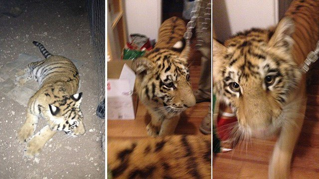 The three tigers found on the property of a Pahrump on Nov. 7, 2016. (Source: Nye County Sheriff's Office)