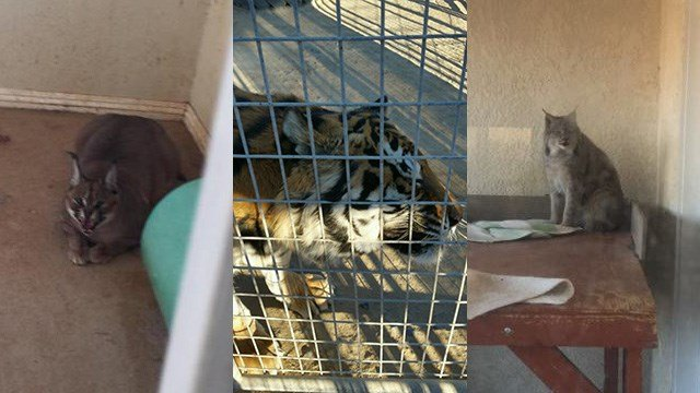 Deputies, animal control and Nevada wildlife officers seized a number of exotic animals from a home on Nov. 16, 2016. (Source: Nye Co. Sheriff's Office)