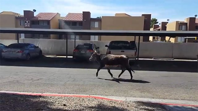 An escaped bull was on the loose near Rancho Drive on April, 16 2017. (Chor Esp/Facebook)
