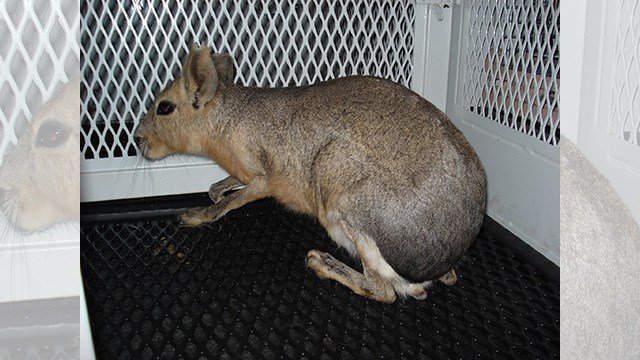 Clark County released a photo of the Patagonian mara in captivity after a pursuit on April 20, 2017. (Source: Twitter/Clark County)