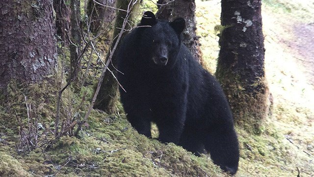 A bear stands along a forest trail in the Mendenhall Glacier Recreation Area on Saturday, May 20, 2017, in Juneau, Alaska. (AP Photo/Becky Bohrer)