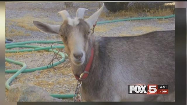 A Pahrump man is mourning the loss of his famous pet goat.