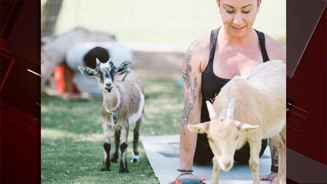 Nicki Taylor, an instructor for Goat Yoga Las Vegas holds a pose with goats on July 15, 2017. (Source: Jay Soriano)