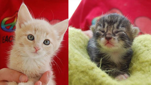 Kittens at the Nevada SPCA urgently need foster homes (SPCA).