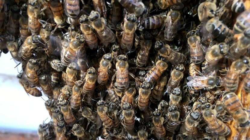 The bee population is increasing, according to a report. (Peter Dawson/FOX5)