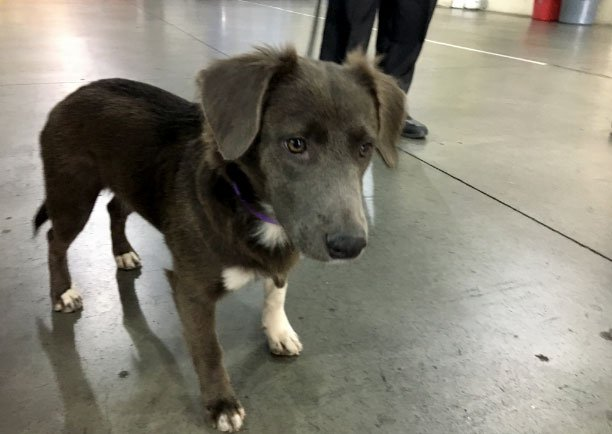 """Houston,"" a Collie mix abandoned during Hurricane Harvey gets a new home Las Vegas. (Jason Westerhaus/FOX5)"