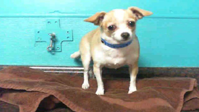 Chase the Chihuahua was taken to an animal hospital after police said he was dragged by his owner at the airport.