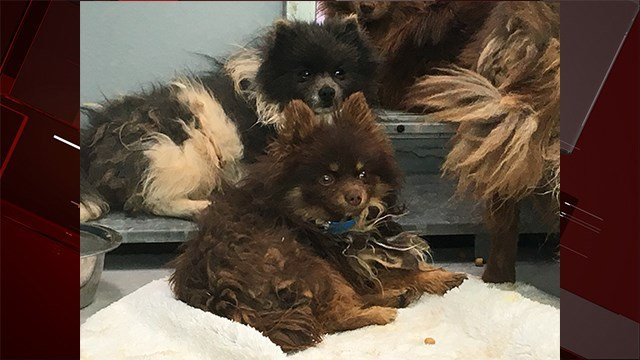 Authorities rescued over 150 Pomeranian dogs in Nevada on Nov. 30, 2017. (FOX5)