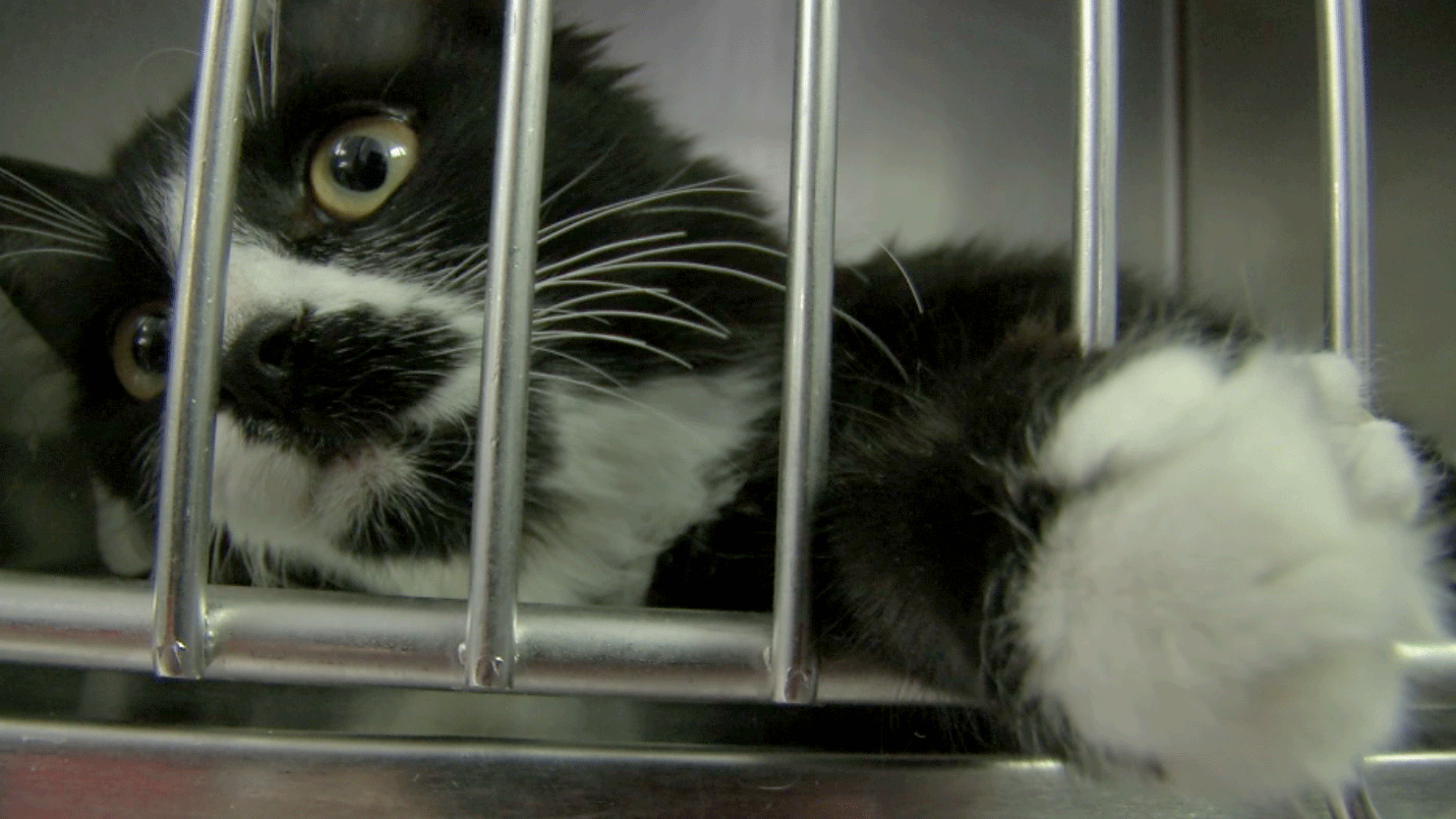 A cat at the Animal Foundation on Dec. 1, 2017. (Kathleen Jacob/FOX5)