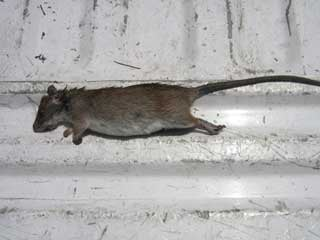 A Roof Rat Caught In The Anthem Area (Courtesy: Western Exterminator  Company)