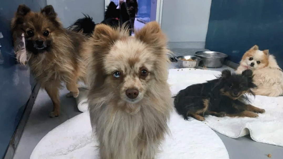 The Pomeranians rescued from a U-Haul will be placed for adoption. (Jason Westerhaus/FOX5)
