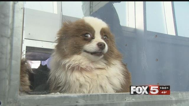 A happy Pomeranian puppy awaits for its forever home (FOX5).