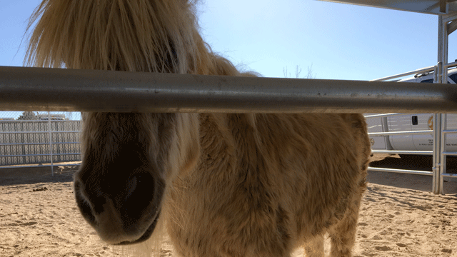 One of the horses seized from a Valley home is shown on Jan. 22, 2018. (Jason Westerhaus/FOX5)