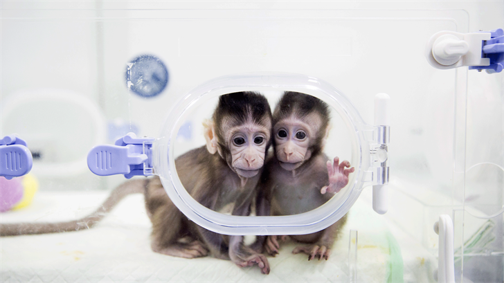 In this Jan. 22, 2018, photo released by China's Xinhua News Agency, cloned macaques Zhong Zhong and Hua Hua sit in a lab at the non-human primate research facility of the Chinese Academy of Sciences. For the first time, researchers have used the cloning