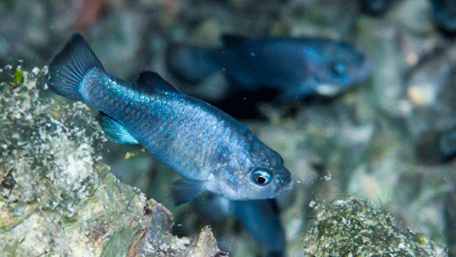 The Devils Hole pupfish is shown in an undated image. (Source: Death Valley National Park)