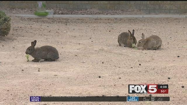 Dead bunnies were found scattered across the lawn of a valley mental health facility on Sunday, and animal rights groups were calling foul play. (FOX5)