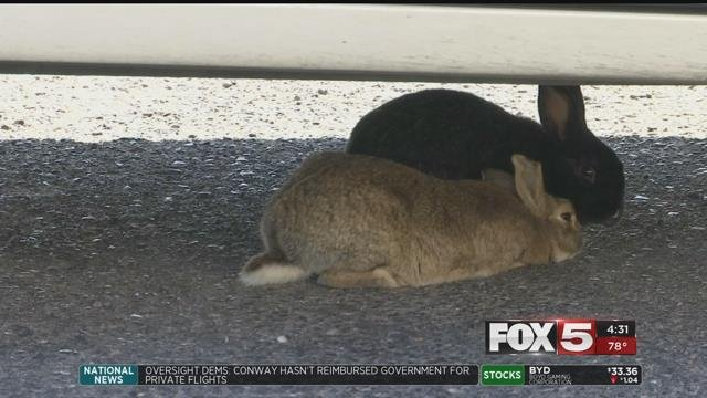 Neighbors near CSN's West Charleston campus, especially near the Mental Health Facility there, said they often see hundreds of rabbits in the area. (FOX5)