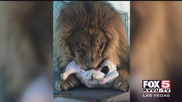 A lion and panther were approved to move into a Las Vegas neighborhood.