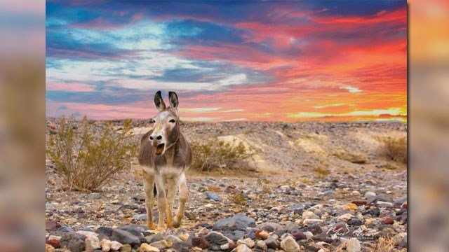 Burros from Death Valley National Park will be relocated to adoption facilities and sanctuaries. (Source: Mark Meyers)