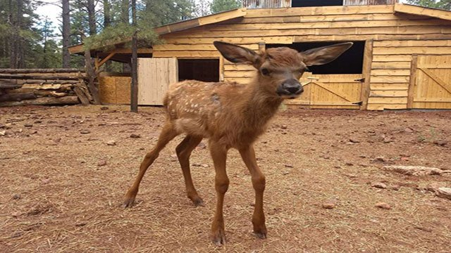 Lucky, a one-month old elk calf, was rescued by Bearizona wildlife park (Bearizona).