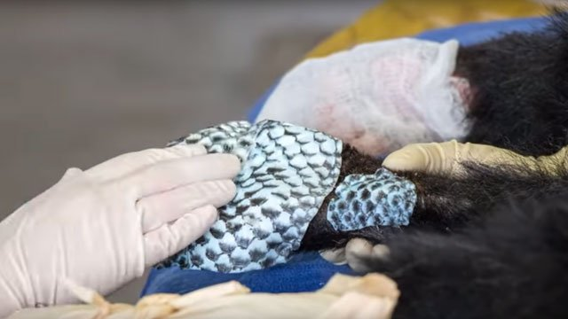 A bear cub injured in the Carr Fire received fish skin bandages on its paws. (Source: CDFW/Youtube)