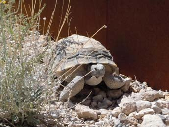 Mojave Max emerges. Courtesy: Clark County
