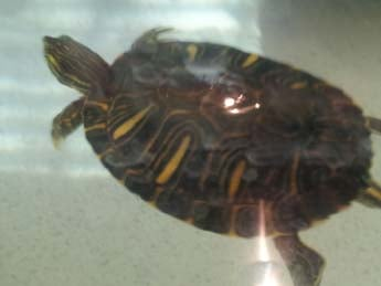A salmonella outbreak has been linked to baby turtles. (Elizabeth Watts/FOX5)