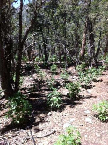 The grow operation was found in Wallace Canyon. (LVMPD)