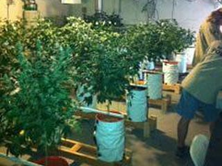 A drug task force confiscated about 186 marijuana plants. (LVMPD)