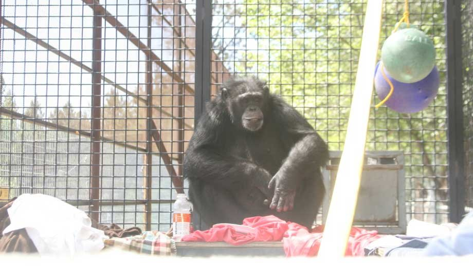 CJ the chimp at her new home in Bend, Oregon. (Photo from Chimps Inc.)