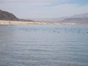 Waterfowl at Lake Mead. (National Park Service)