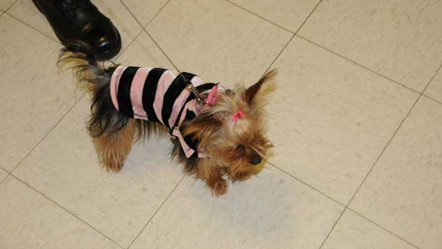 "Prada's dog, ""Dolce"" (Courtesy MBTA/Suffolk Co. District Attorney's Office)"