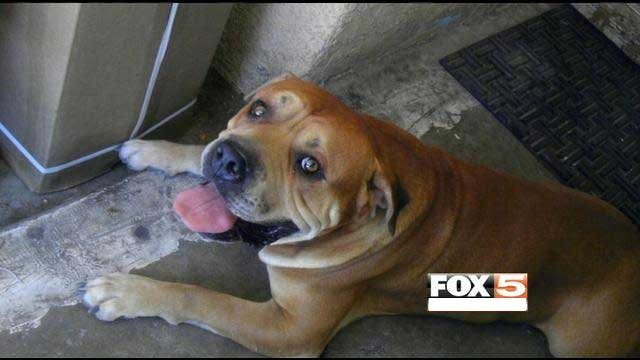 Police said the pit bull shot by a Las Vegas Metro police sergeant was charging at the officer.