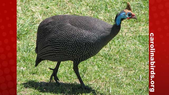 A Helmeted Guinea Fowl (Photo from carolinabirds.org)