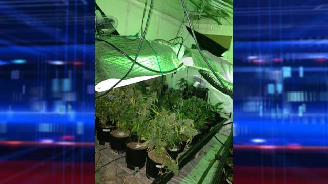 Metro police on Thursday afternoon busted a marijuana grow house that yielded nearly 100 plants. (LVMPD)