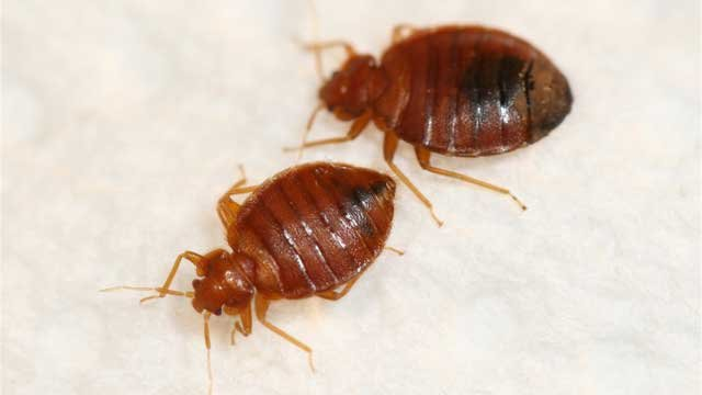According to pest control company Terminix, bedbugs can last longer without a blood meal. (Source: Terminix)