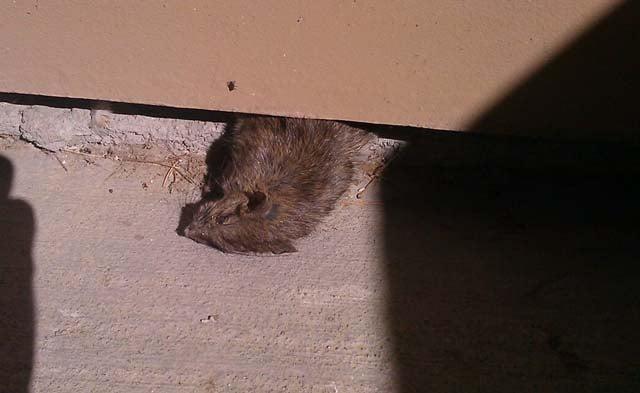 A Green Valley rat, recently deceased. (FOX5)