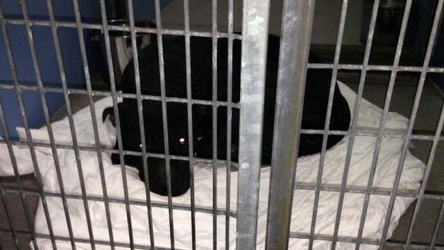 This is one of the dogs involved in the attack on children. (Jason Westerhaus/FOX5)