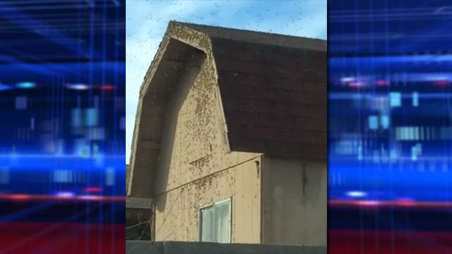 Video captured on Nov. 7, 2013, showed a swarm of bees around a shed in a North Las Vegas neighborhood.  (Source: Cedric Williams/NLV Fire Dept.)