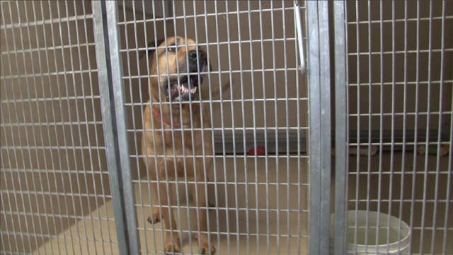Onion, a bull-mastiff, was kept in a shelter following an attack on a toddler in 2012.   (Source: City of Henderson)
