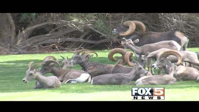 Southern Nevada bighorn sheep, such as those pictured here, have been hit by a deadly pneumonia outbreak. (FOX5)
