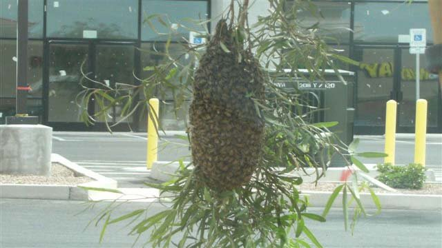 A swarm of bees is depicted in this undated file photo. (Source: Timothy R. Szymanski/Las Vegas Fire and Rescue)