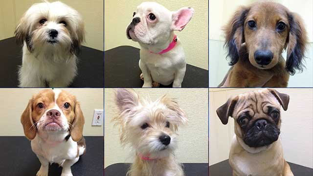 Six of the 25 puppies being raffled are seen in these undated images posted on the Animal Foundation's website. (Source: animalfoundation.com)