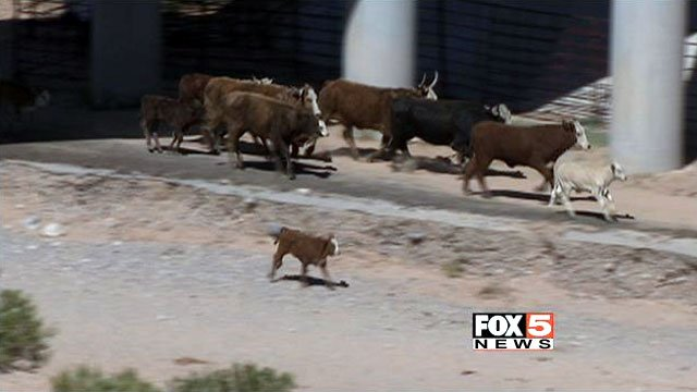 Cattle once seized by the BLM run toward the Bundy ranch after being released April 12, 2014. (FOX5)