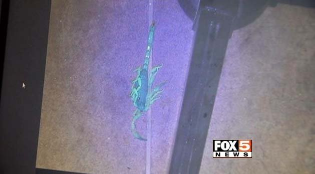 A scorpion is revealed under black light. (FOX5)