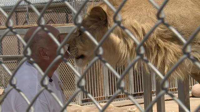 Keith evans nuzzles with a lion at the lion habitat ranch in henderson