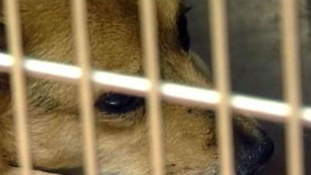 A dog lays in a kennel at a Las Vegas-area animal shelter. (File/FOX5)