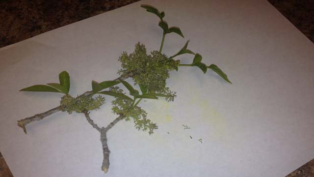 A branch from an ash tree, which is affecting allergy sufferers in February. (Elizabeth Watts/FOX5)