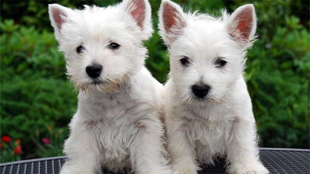 West Highland terrier puppies are seen in this Wikimedia image. (Westieinfo.com/Wikimedia)