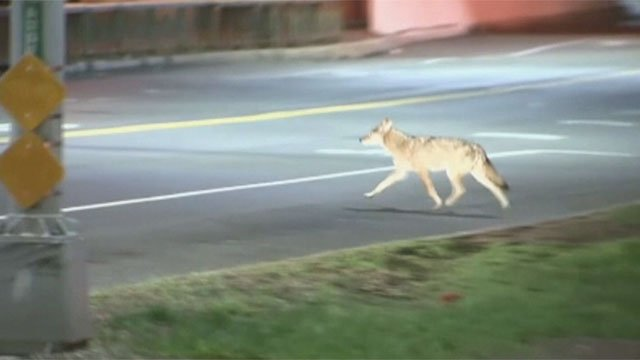 A coyote is seen roaming on a roadway in this undated image. (FOX5)